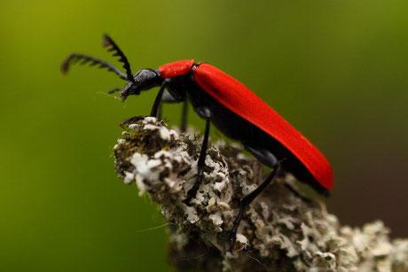 Feuerkäfer (Pyrochroidae)