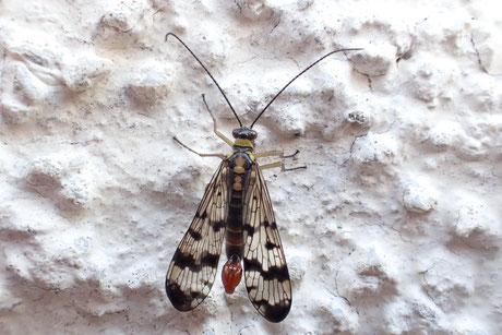 Skorpionsfliegen (Panorpidae)