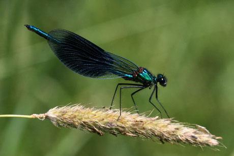 Gebänderte Prachtlibellend. Calopteryx spl.)