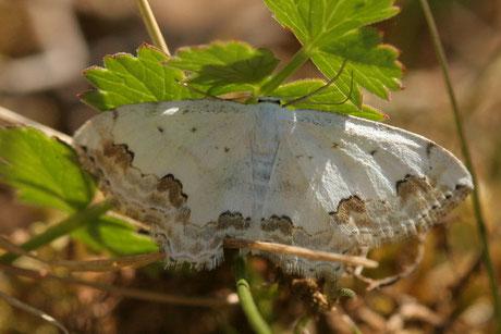 Schmuck-Kleinspanner (Scopula ornata)