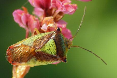 Bauchkielwanzen(Acanthosomatidae)
