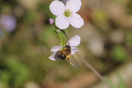 Gemeine Sandbiene (Andrena flavipes)