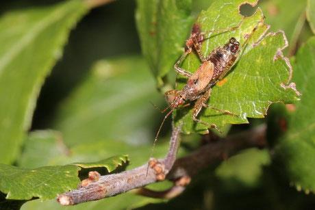 Sichelwanze (Himacerus apterus)