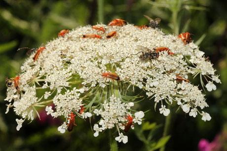 Weichkäfer (Cantharidae)