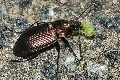 Laufkäfer (Carabidae)
