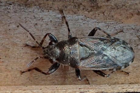 Brennessel-Bodenwanze (Heterogaster urticae)