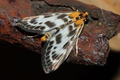 Zünsler (Pyraloidea)