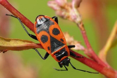 Feuerwanze (Pyrrhocoris apterus)