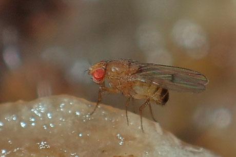 Taufliegen (Fruchtfliegen) (Drosophilidae)