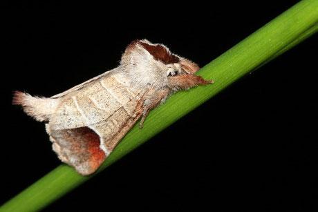 Zahnspinner (Notodontidae)
