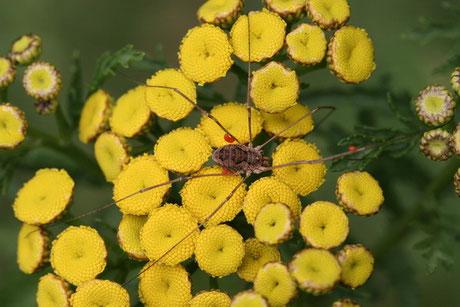 Spinnentiere (Arachnida)