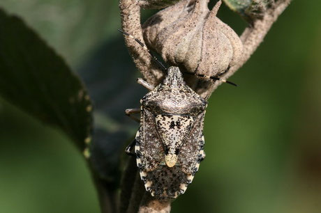 Graue Feldwanze (Rhaphigaster nebulosa)