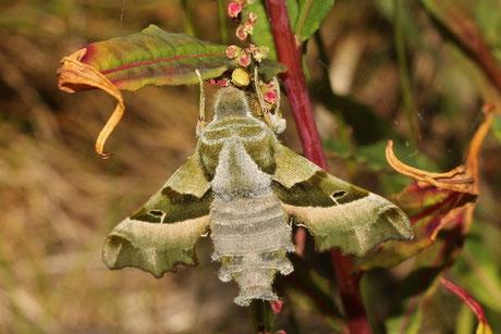 Nachtkerzenschwärmer (Proserpinus p)