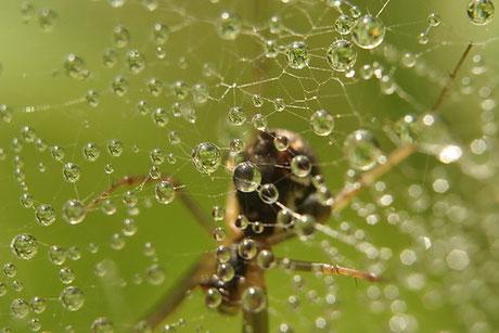 Baldachinspinnen (Linyphiidae)