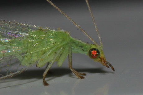 Netzflügler (Neuroptera)