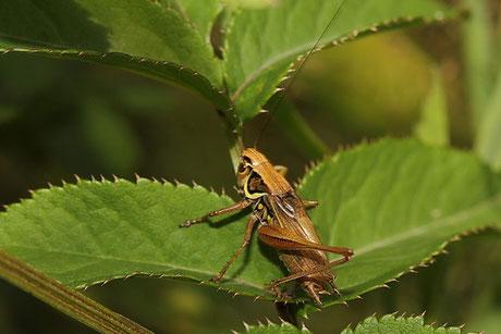 Roesels Beißschrecke  Metrioptera roeselii