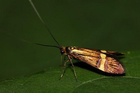 Langhornmotten (Adelidae)