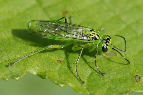 Grüne Blattwespe (Rhogogaster viridis)