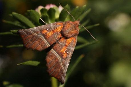 Zackeneule (Scoliopteryx libatrix)