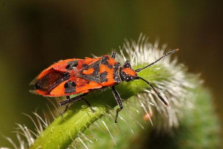 Glasflügelwanzen  (Rhopalidae)