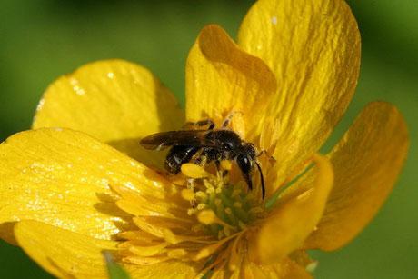 Hahnenfuß-Scherenbiene (Osmia florisomnis)