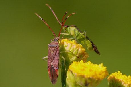 Erlenweichwanze  (Pantilius tunicatus)