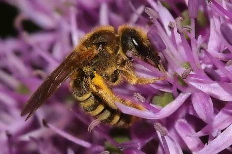 Skabiosen-Furchenbiene (Halictus scabiosae)