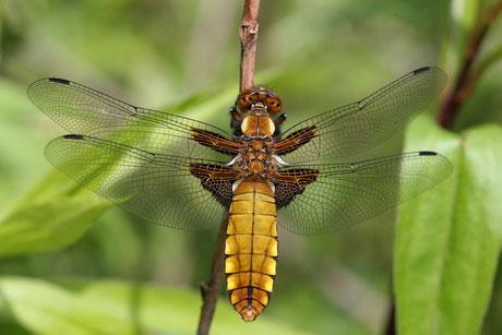 Plattbauchlibelle (Libellula depressa )