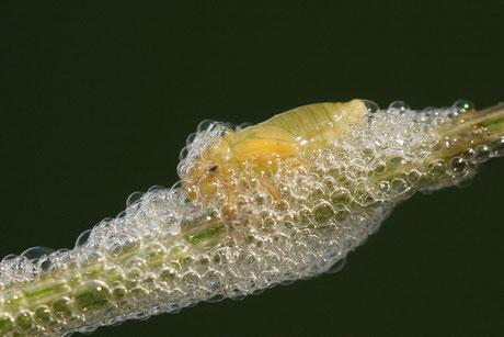 Wiesenschaumzikade (Philaenus spumarius)