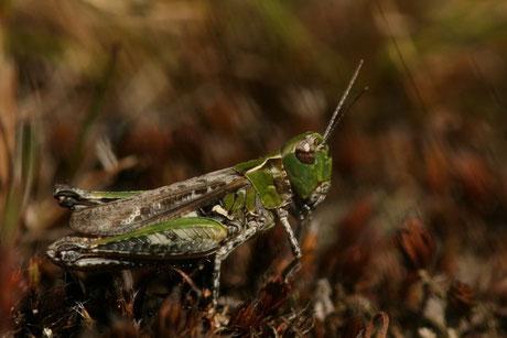 Gefleckte Keulenschrecke  Myr.maculatus