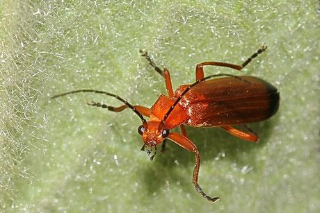 Roter Weichkäfer (Rhagonycha fulva)