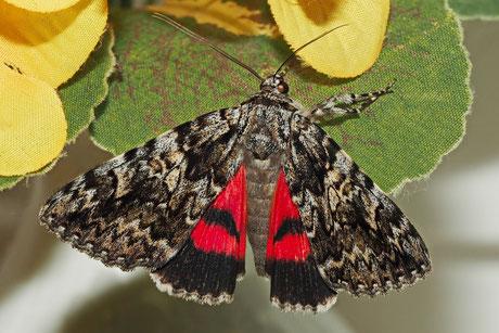 Rotes Ordensband (Catocala nupta)