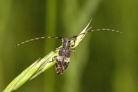 Nebelfleckbock (Leiopus nebulosus)