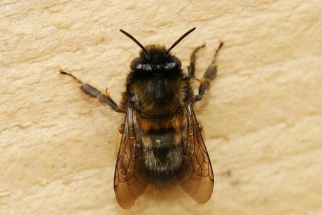 Gemeine Pelzbiene (Anthophora plumipes)