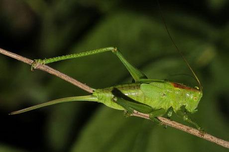 Zwitscherschrecke-Larve T. cantans)