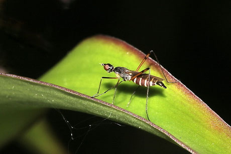 Stelzenfliegen (Micropeza corrigiolata)