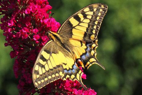 Schmetterlinge Tagfalter (Lepidoptera)