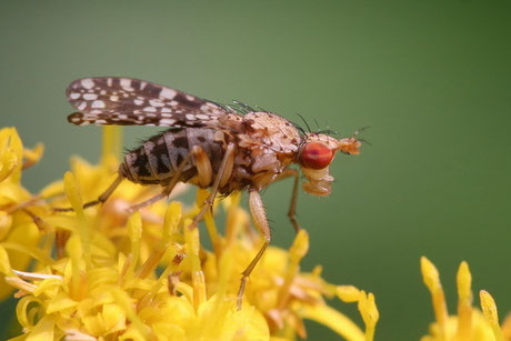 Hornfliege (Trypetoptera punctulata)