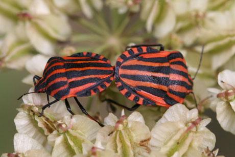Streifenwanzen  (Graphosoma lineatum)