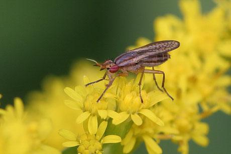 Hornfliege (Limnia unguicornis)