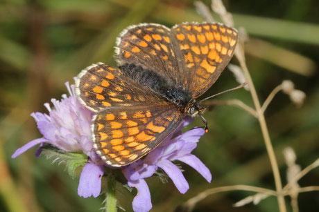 Ehrenpreis-Scheckenfalter (Mellicta aurelia)