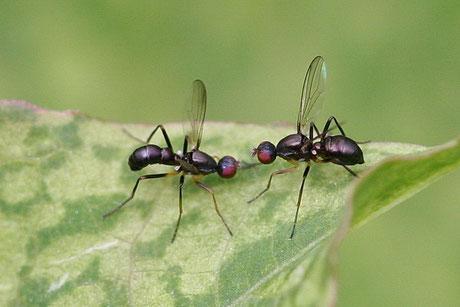 Schwingfliege (Nemopoda nitidula)
