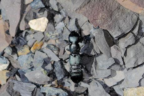 Schwarzer Moderkäfer (Ocypus olens)