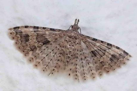 Federgeistchen Alucitidae/Motten Pterophoridae