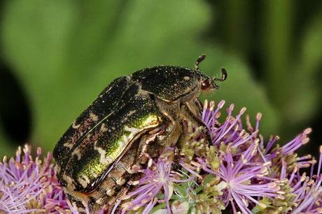 Goldglänzender Rosenkäfer (C.aurata)