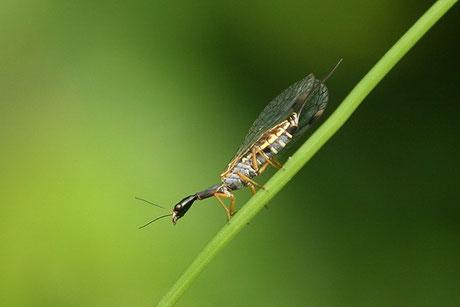 Kamelhalsfliegen (Raphidioptera)