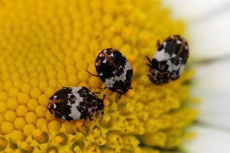 Bibernellen-Blütenkäfer Anthrenus pimpinellae