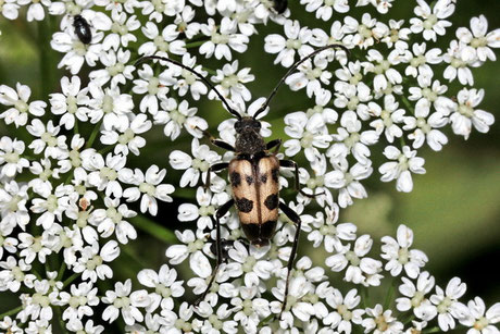 Gefleckter Blütenbock (P. cerambyciformis)
