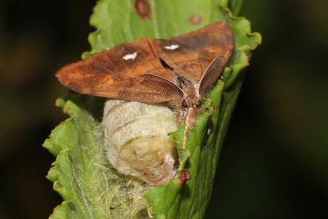 Schlehen-Bürstenspinner (Orgyia antiqua)