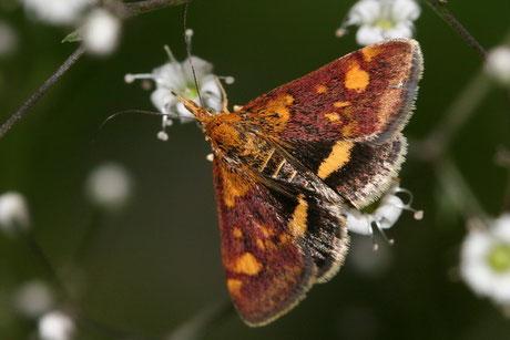 Zünsler  (Crambidae)